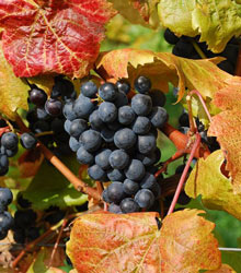 Grap Harvest at Savage Oakes Vineyard