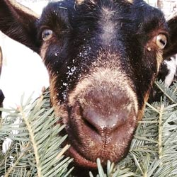 Goats love Christmas trees