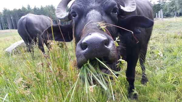Grazing in the Grass - ME Water Buffalo Co - Appleton Maine